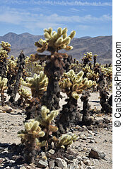 Amazing cholla cactus growing in the desert.