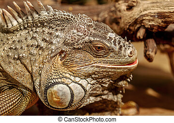 fantastic close-up portrait of tropical iguana. Selective focus, shallow depth of field
