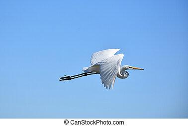 Fantastic Great White Egret in Flight Against a Blue Sky
