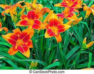 Fantastic orange lilies in the garden.