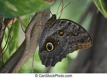 Fantastic Owl Butterfly in a Lush Green Garden