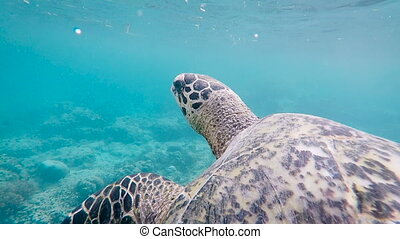 Fantastic scene of huge Indonesian turtle swimming deep in the ocean. Big terrapin of wonderful colour slowly floating inside the sea moving her paws and shell running against coral in the background.