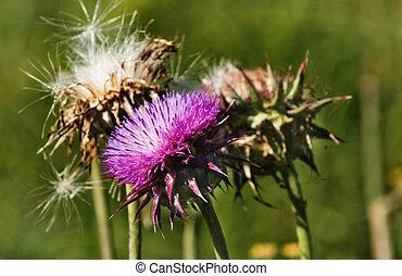 Fantastic thistle flower