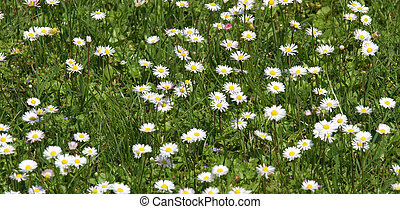 white background daisies in the lawn Green