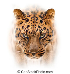 far eastern leopard face isolated on white