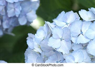 farbe, hortensie, aqua