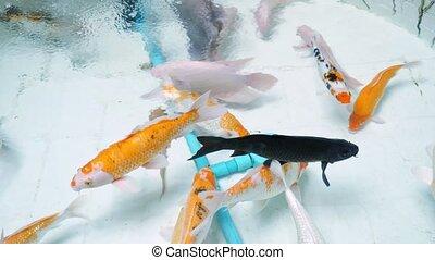 farben, schwimmen, aquarium, orange, verschieden, weißer ...