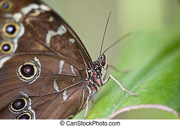 farfalla, achilles, morpho