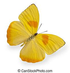 farfalla, bianco, isolato, giallo
