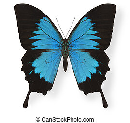 farfalla, bianco, papilio ulysses, isolato