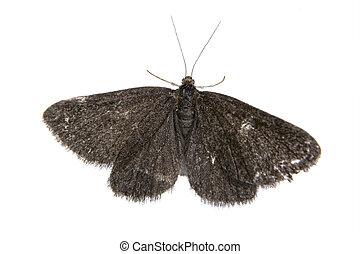 farfalla, bianco, sfondo nero