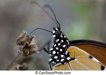 farfalla, body., -, fine, monarca, estremo