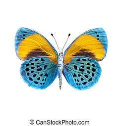 farfalla, definizione, alto, sfondo bianco