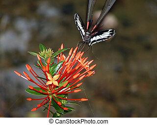 farfalla, e, fiore