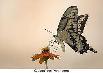 farfalla, fiore