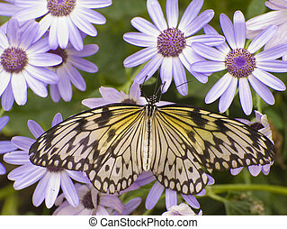 farfalla, marrone, fritillary