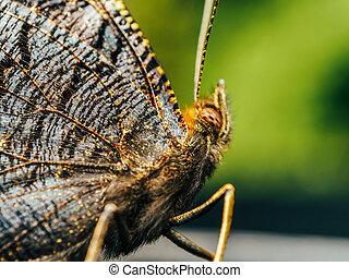 farfalla, marrone, monarca, fine