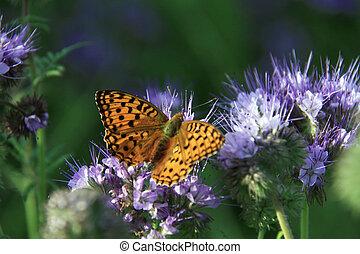 farfalla, -, monarca