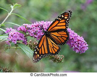 farfalla monarca, e, fiori selvaggi