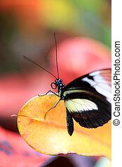 farfalla, primo piano