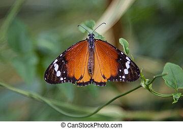 farfalla, tiger, pianura