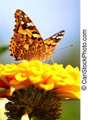 farfalla, zinnia