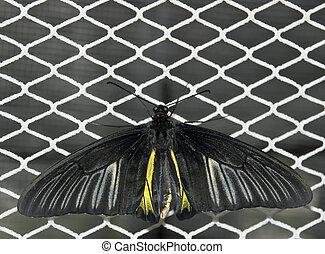 farfalle, 3