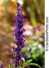 farinacea, salvia, fleur, détail