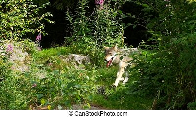 farkas, alatt, nyár