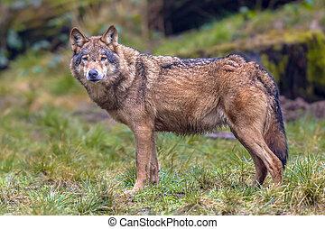 farkas, szem kontaktlencse, alatt, egy, erdő