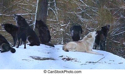 farkasok, alatt, tél
