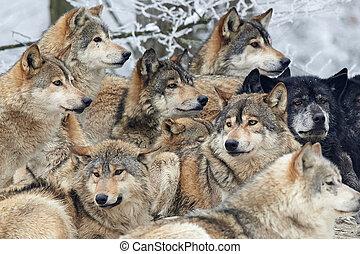farkasok, konzervál