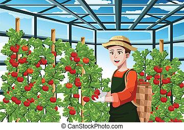 farmář, sklizeň, rajče