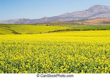 Farm #2 - Field of Flowers - Western Cape, South Africa