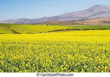 Farm #2 - Field of Flowers - Western Cape, South Africa