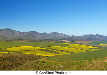 Field of Flowers - Western Cape, South Africa
