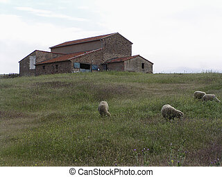 Farm and grazing lamb