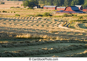 A field of hay that has just been cut and is drying before being bailed. This classic scene, with a red barn and other farm buildings, is a prototypical farm in the United States.