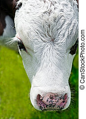 Farm animal. Close up portrait of little cow on meadow