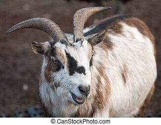 Farm animal - mountain goat