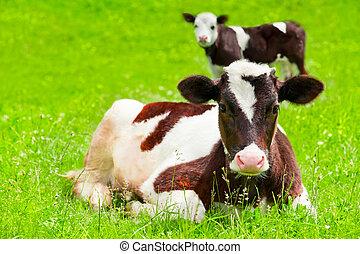 Farm animal. Two little calf on green summer meadow