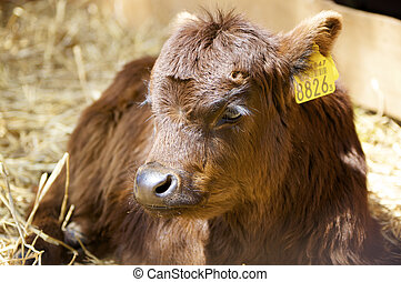 farm animal - young bull