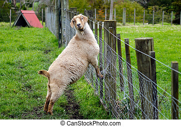 Farm Animals - Goat