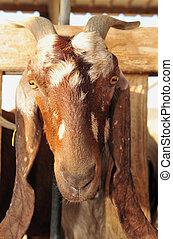 Farm Animals - Goats