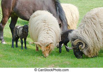 Farm Animals Grazing