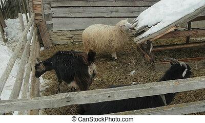 Farm animals in the courtyard. Carpathians, Ukraine.