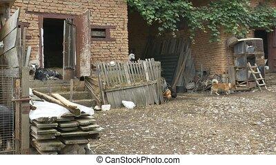 Farm Animals in Village Yard - Pan shot of a village yard...