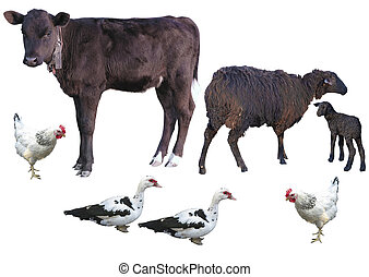 Farm animals isolated over white - calf, sheep, lamb, chicken, duck