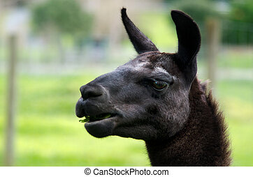 Farm Animals - Lama