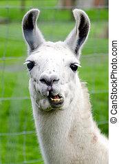 Farm Animals - Lama - Portrait of a white lama in lamas...